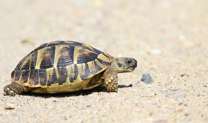 Eastern Hermann's tortoise, European terrestrial turtle, Testudo hermanni boettgeri