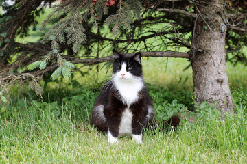 rest at nature/ Cat woke up under the green spruce on the street and does not understand what's going on