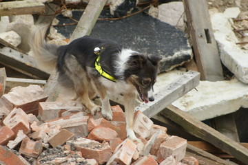 search and rescue dog at tower block collapse disaster zone