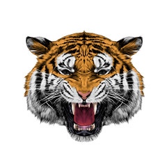 white tiger head growling sketch vector graphics color picture