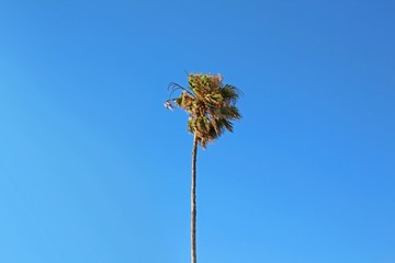 Lonely tall palm tree (Washingtonia Robusta) on blue sky background