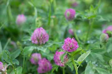 Blossoming flowers of Trifolium pratense.The plant that being used for feeding domestic animals. Nature background