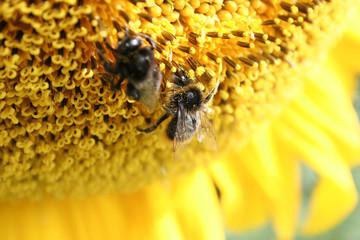 Hummeln auf Sonnenblume