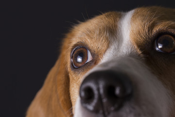 Close-up shot of young beagle face.