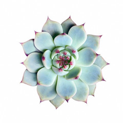 echeveria succulent plant on white background, top view