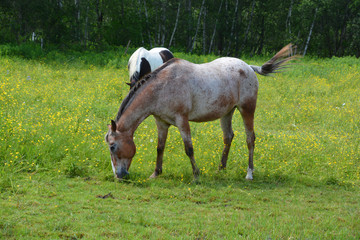 Young horse in field in spring season in Granby Quebec