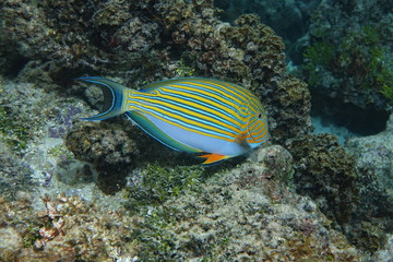 Colorful tropical fish lined surgeonfish Acanthurus lineatus, underwater in the lagoon of Bora Bora, Pacific ocean, French Polynesia