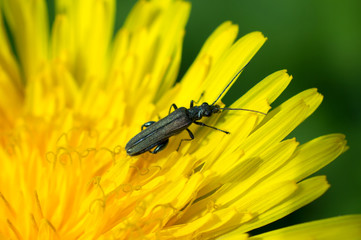 Black bug on a dandelion - Nature photography - Macro photography