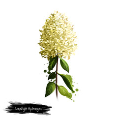 Digital art illustration of Limelight Hydrangea isolated on white. Hand drawn flowering bush of Hydrangeaceae family. Colorful botanical drawing. Greeting card, birthday, anniversary, wedding, holiday
