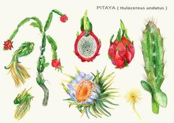 Watercolor Botanical illustration fruit cactus Pitaya.