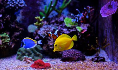 Aquarium tropical fishes