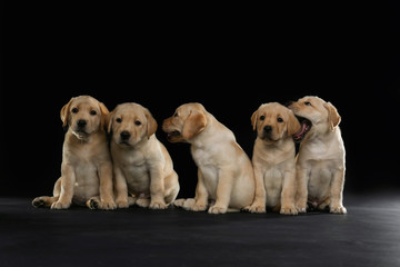 Cute labrador retriever puppies on dark background