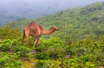 Salalah camels