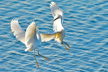 The fight of the Snowy Egrets