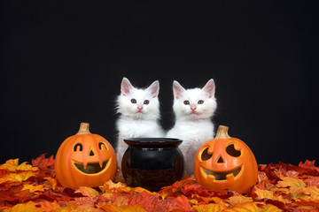 Two fluffy white kittens sitting behind a black cauldron with jack o lanterns on both sides surrounded by fall autum leaves, black background.
