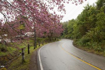 """Pink Flower """"Wild Himalayan Cherry"""" (Prunus cerasoides)"""