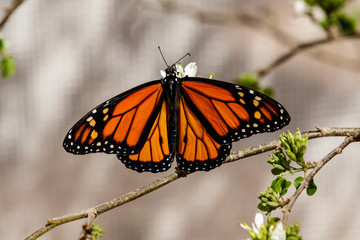 Queen butterfly with wings spread, feeding on the blossom of a desert plant in Phoenix, Arizona.