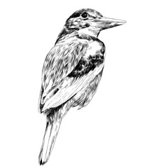 bird Alcyone sketch vector graphics black and white drawing