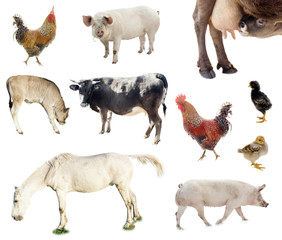 set of farm animals. chicken, pig, cow isolated on white background
