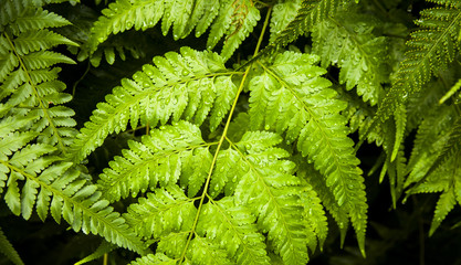 Green fern wide natural banner