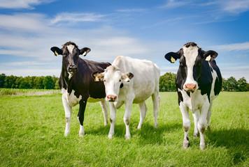 Fototapete - Drei hübsche, schwarzbunte Rinder auf der Sommerweide in Norddeutschland