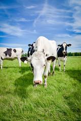 Fototapete - Neugierige Rinder auf einer Weide in Norddeutschland