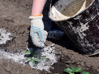 The process of treating shoots of plants with wood ash to protect against pests