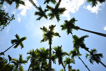 scenic view of very big and tall sugar palm with beautiful sky.