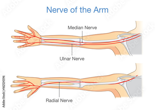 Nerve Of The Arm In Back And Front Side Illustration About Human