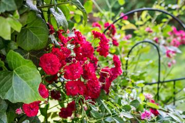 Ettenheim, Germany - Flowers 4