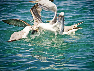 Hungry seagulls fighting for food midair on the sea water