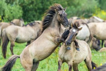 Fototapeta wild konik horses fighting in the Netherlands Oostvaardersplassen