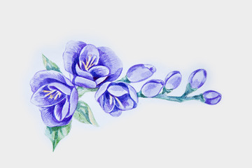 A sketch of a beautiful violet freesia on a white background.