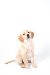 Hund, Golden Retriever Welpe mit niedlichem Blick schaut nach oben