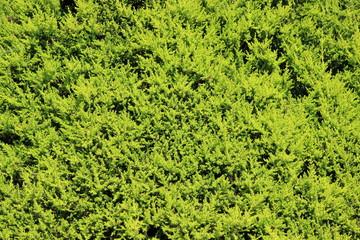 Pine bush background