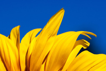 Yellow Petals with Blue Sky