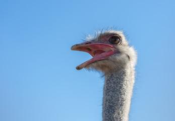 Ostrich bird head and neck with open beak front portrait closeup