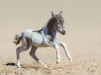 Wall Mural - American miniature horse. Pinto newly born foal in motion.