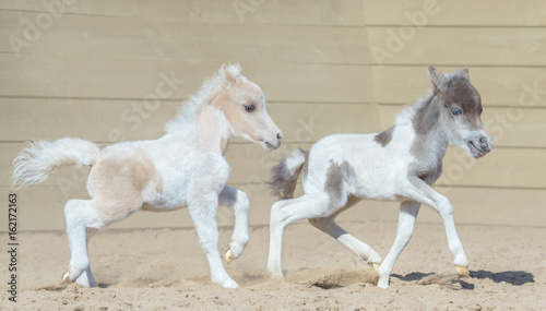 Wall mural American miniature horse. Two newly born pinto foals on walk.