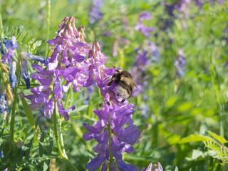 Macro photo of bee near the Ordesa National Park, Huesca, Spain. Picture with nikon 7700