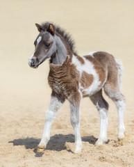 Wall Mural - American miniature horse. Silver bay skewbald foal.