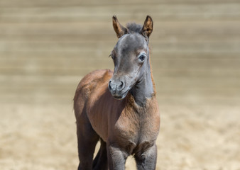 Wall Mural - American miniature bay foal is one month of birth. Place for your text.