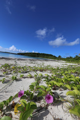 Caribbean beach with purple seaside purslane flowers and vines