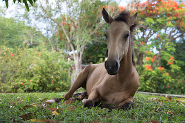 Brown horse foal laying down in tropical garden