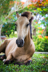 Brown foal horse relaxing in tropical garden