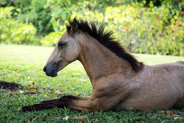 Young wild horse laying in grass
