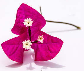 Pink Bougainvillea flower with white stigma isolated on white BG