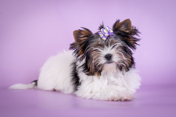 Beautiful Yorkshire Terrier Dog on color background