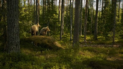 European Brown Bear (Ursus arctos) two cubs in Boreal forest, Taiga, Finland