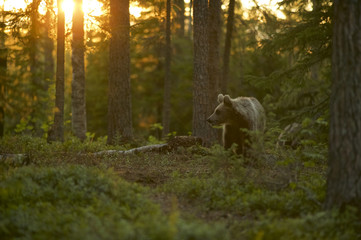 European Brown Bear (Ursus arctos) in Boreal forest, Taiga, Finland